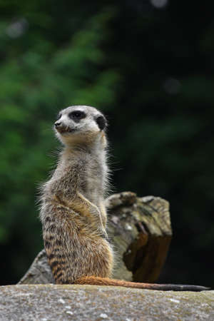 Close up side profile portrait of one meerkat sitting on a rock and looking away alerted over green background, low angle view