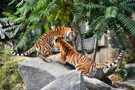 Two young female Siberian tigers (Amur tiger, Panthera tigris altaica) play and fight on rocks, low angle, side view Standard-Bild