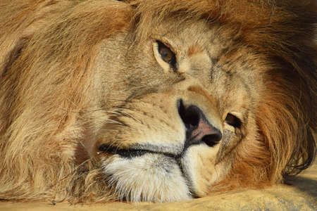Extreme close up portrait of cute male African lion with beautiful mane, laying resting on the ground and looking at camera, low angle view