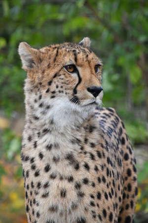 Close up portrait of cheetah (Acinonyx jubatus) looking at camera, low angle view