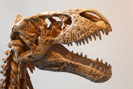 Close up replica skeleton head of Tyrannosaurus rex or T rex, with open mouth full of teeth, profile, side view
