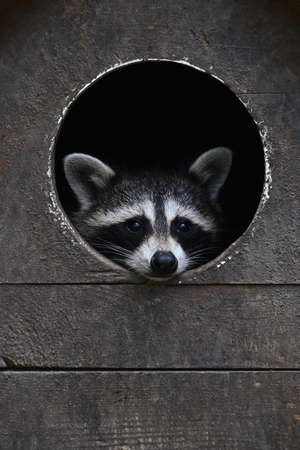 Close up cute baby racoon looking out at camera from round window of wooden house