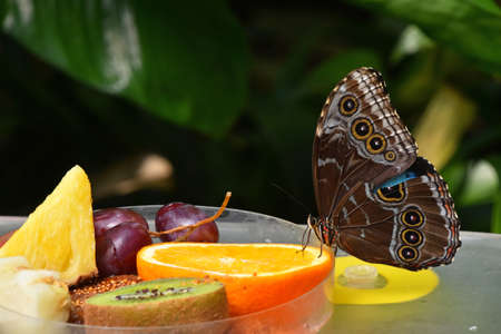 Close up of beautiful brown and blue tropical butterfly eating fruits, low angle side view