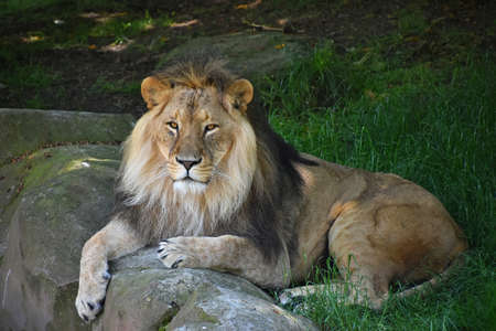 Full length portrait of one African lion resting on ground in green grass among rocks and looking at camera, high angle front view