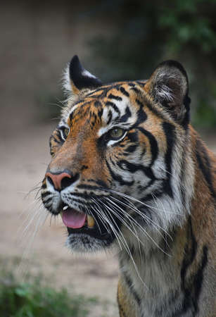 Close up portrait of one young Sumatran tiger (Panthera tigris sondaica) looking at camera alerted with mouth open, high angle view Standard-Bild
