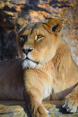 Close up portrait of beautiful mature female African lioness looking at camera, low angle view