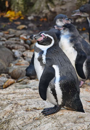 One penguin standing on the rock spreading wings and calling, during mating dance, close up, low angle view,