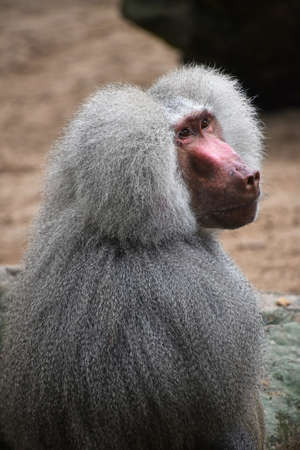 Close up rear side view of Hamadryas baboon male looking up at camera, high angle view Standard-Bild
