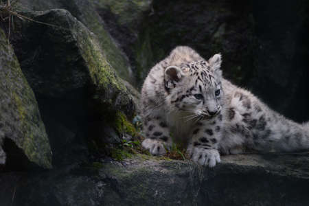 Close up full length front portrait of young snow leopard cub on rocks, looking at camera, low angle view Standard-Bild
