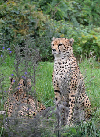 Close up couple of cheetahs resting in green grass and looking at camera, low angle front view Standard-Bild