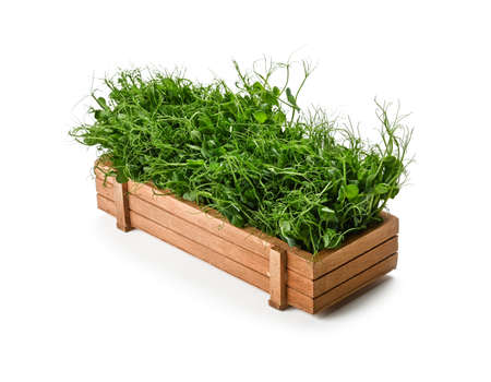 Close up fresh green peas microgreen sprouts in brown wooden box isolated on white background, high angle view