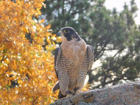 falconidae: Peregrine Falcon
