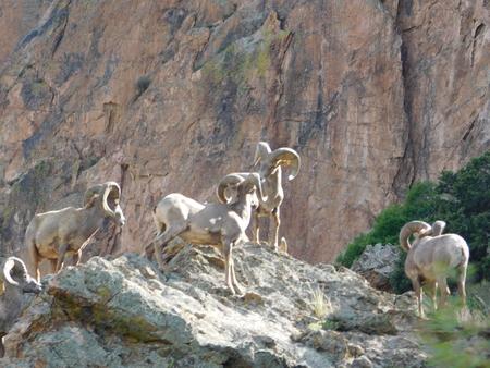rocky mountain bighorn sheep: Garden of the Gods