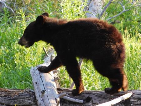 omnivore: Yellowstone National Park