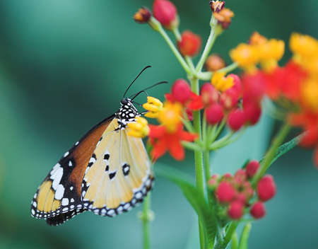 butterfly on the orange and red flower Stock Photo - 1065750