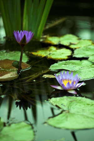 purple water lily in the small lake photo
