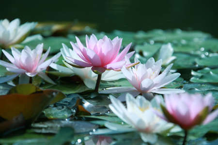 aquatic plants: Beautiful pink water lily in the garden