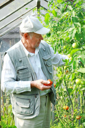 plating: Elderly man harvesting vegetable from his glasshouse Stock Photo