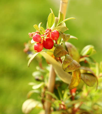Young cranberry plant with fruits Stock Photo - 8894673