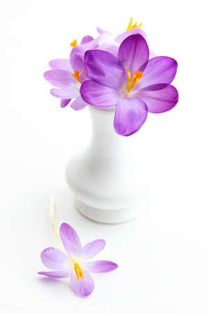 krokus: Violet crosus in vaas voor het voorjaar op een witte achtergrond