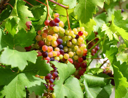Unripe grapes and vine leaves close up Stock Photo - 13274360