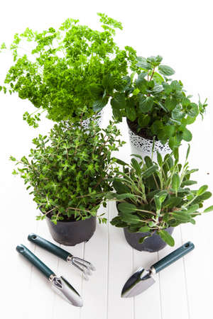 Herbs for planting with garden tools photo