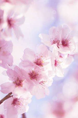 Cherry blossom with beautiful flower bud and young booming flowers Stock Photo