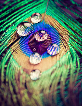 Closeup of peacock eye feather with water drops in vivid colors. Selective focus.