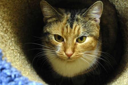 calico cat: Calico cat in cat museum
