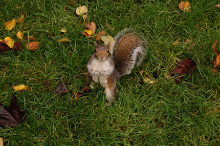 hyde: Squirrel in Hyde Park Stock Photo