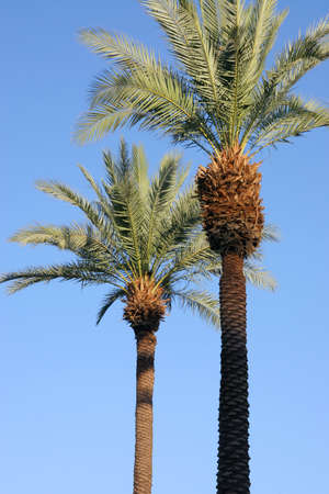 Two palm trees silhouetted against a blue sky. Stock Photo
