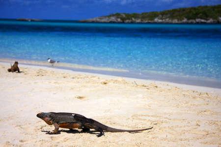 cay: Allans Cay Iguana - indigenous to Allans Cay, Bahamas.