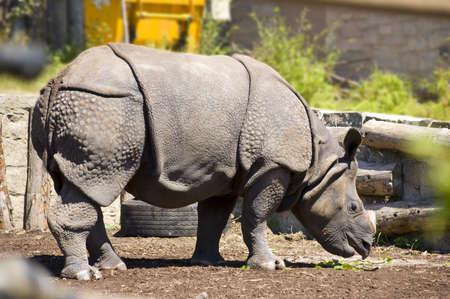 Indonesian RhinocerosGreat One Horned Rhinoceros (Rhinoceros unicomis) Stock Photo