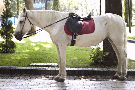 Horse with saddle in park  Stock Photo