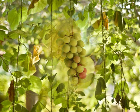 viticultura: Vineyard Viticulture Wine Industry Concept with Juicy Green Grapes  Banco de Imagens