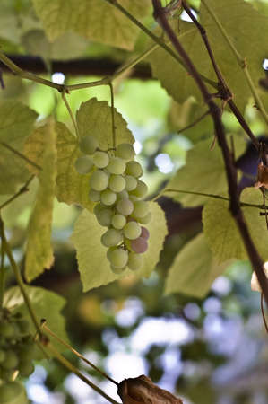 Juicy bunch of grapes