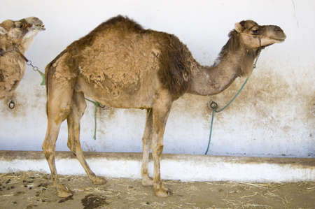 Dromedary camel standing in shade during Tunisian summer Stock Photo