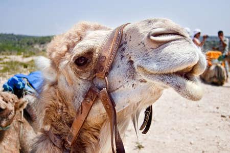 Head of smiling camel in Tunisia, Africa