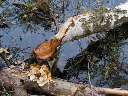 Birch taken down by beaver photo