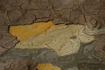 プラタナス: 冬のバック グラウンドでシカモアの木の樹皮 写真素材