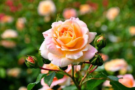 rosas amarillas: Una hermosa florece aument� en un jard�n de rosado