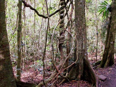 lamington: rainforest Stock Photo