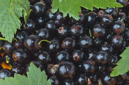 Berries of a black currant and leaves, a background