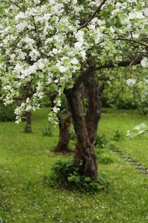 apple blossom: Blossoming apple-tree