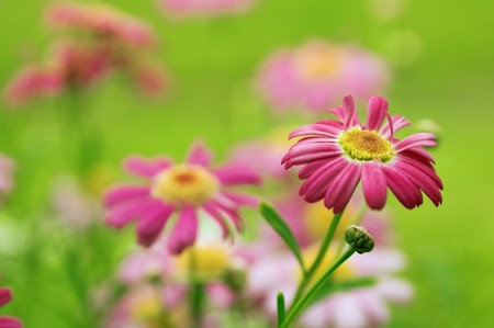 Pink camomiles against a green grassh Stock Photo - 7789108
