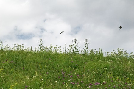 Swallows fly over a field photo