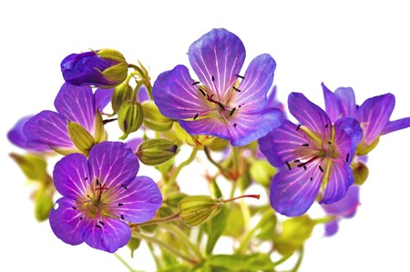 small purple flower: Wild flowers  it is isolated on the white Stock Photo