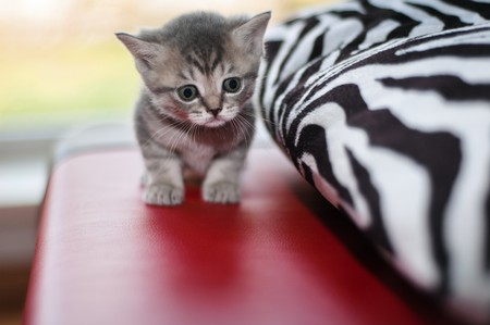 Small nice kittens of the British breed