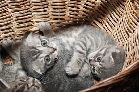 Small nice kittens of the British breed photo