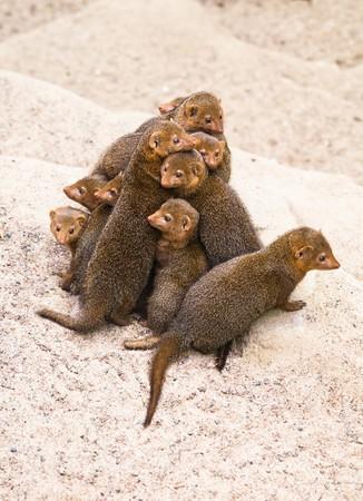 dwarf mongoose photo